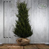 Europeisk barlind Klump 160-180 cm Ekstra kvalitet