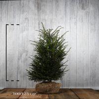 Europeisk barlind Klump 100-120 cm Ekstra kvalitet