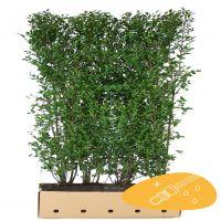 Eviggrønn liguster 'Atrovirens' Ferdighekk 200 cm Ferdighekk
