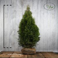 Tuja 'Smaragd' Klump 150-175 cm Ekstra kvalitet