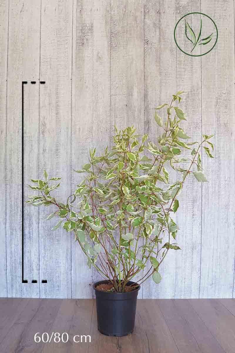 Hvitkornell Potte 60-80 cm