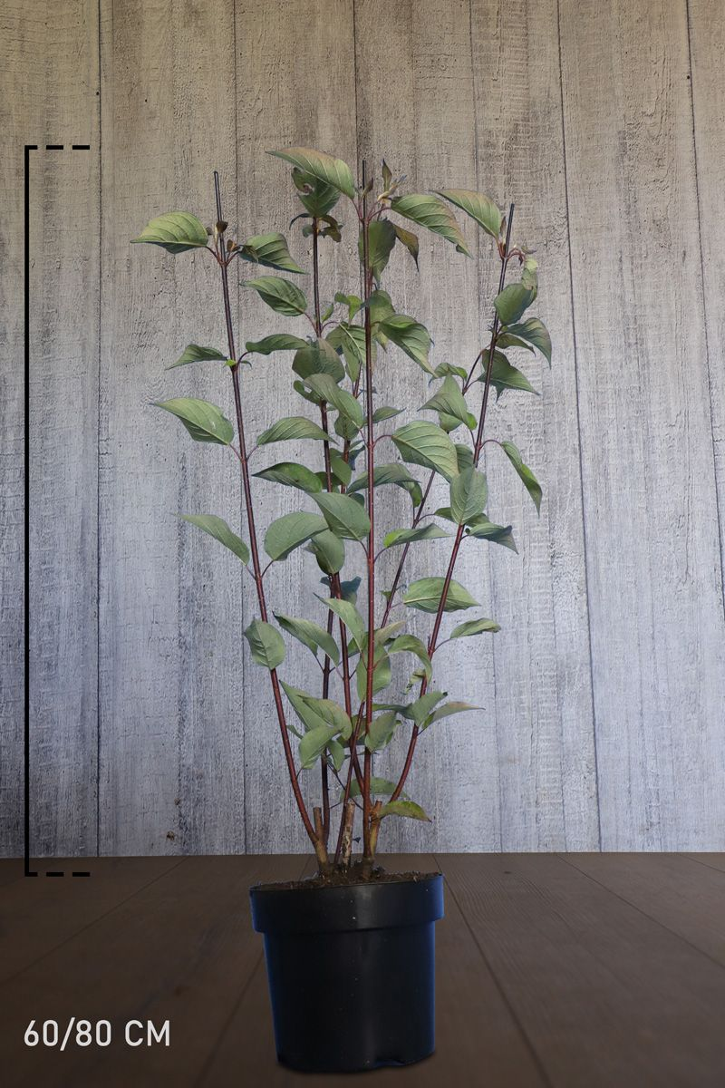 Svartkornell Potte 60-80 cm Ekstra kvalitet