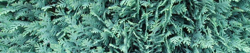 Edelsypress som hekk