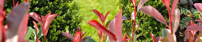 Eviggrønne hekkplanter