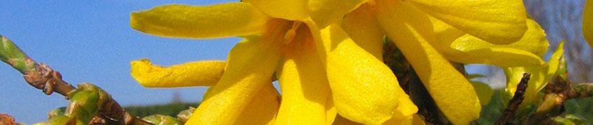Forsythia 'Spectabilis' som hekk