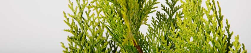 Kjøp edelsypress på nett
