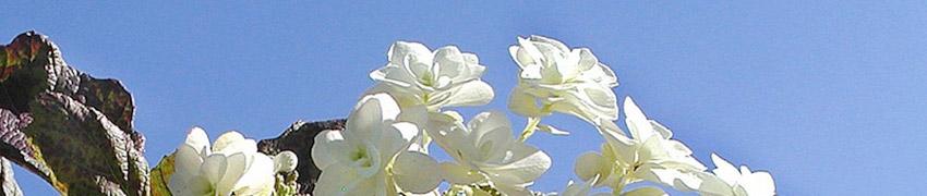 Kjøp hortensia på Hekkplanterdirekte.no