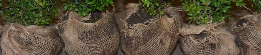 hekkplanter-med-klump