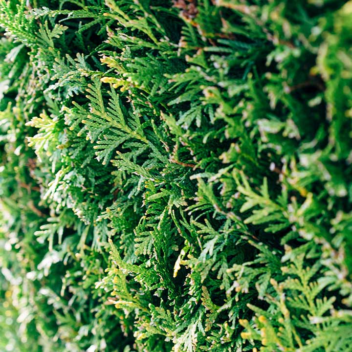 Hekkplanter på nett
