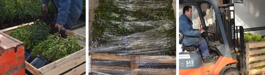 Hekkplantene dine gjøres klare til forsendelse etter en intern kvalitetskontroll