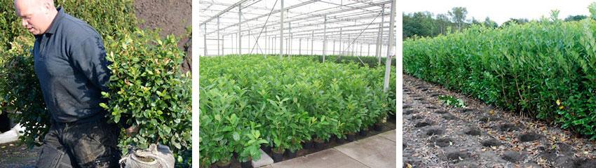 Hekkplantene høstes på bestilling