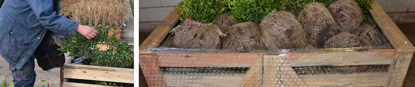 Hekkplantene er klare til forsendelse